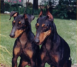 Click here to meet the Charlin Manchester Terriers.